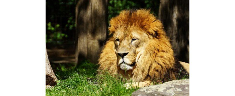 Roarrrr! Ein goldener Löwe für YOC