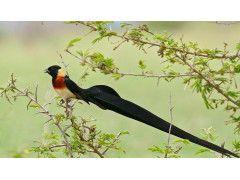 © Flickr Bernad Dupont, Long-tailed Paradise Whydah, CC-BY-SA 2.0