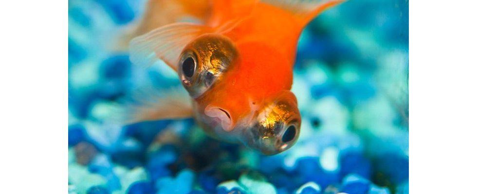 Die Mär von 8 Sekunden: Warum wir eine höhere Aufmerksamkeitsspanne als Goldfische haben